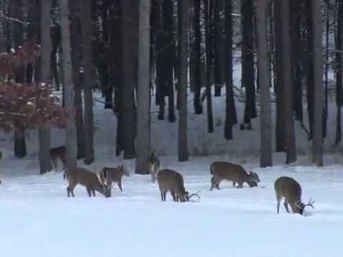 Whitetail Deer Hunting - Huge Buck Running Shot