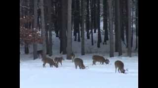Whitetail Deer Hunting - Huge Buck Running Shot