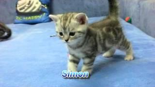 Британские котята окраса черный мрамор на серебре Litter S 1 month 10 days