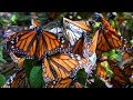 Millions Of Monarch Butterflies Flutter To The Mountains In Mexico Every October mp3