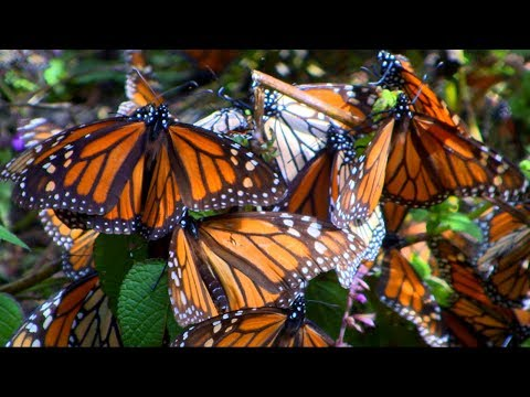 Millions Of Monarch Butterflies Flutter To The Mountains In Mexico Every October