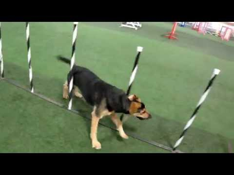 German Shepherd / Lab mix - Weave poles and contacts - agility
