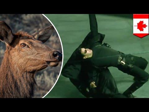 Bulletproof elk: study shows older female elk quickly adapt to hunters, dodge bullets - TomoNews
