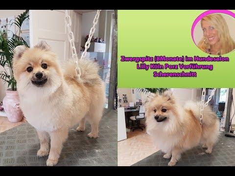 Hundesalon Lilly Pomeranian Zwergspitz schneiden Hundefriseur Groomer