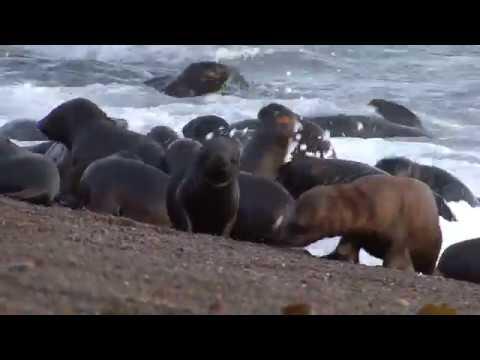 Orcas attacks! Attaques par des orques!