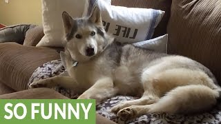 6 Huskies Guaranteed To Make You Laugh