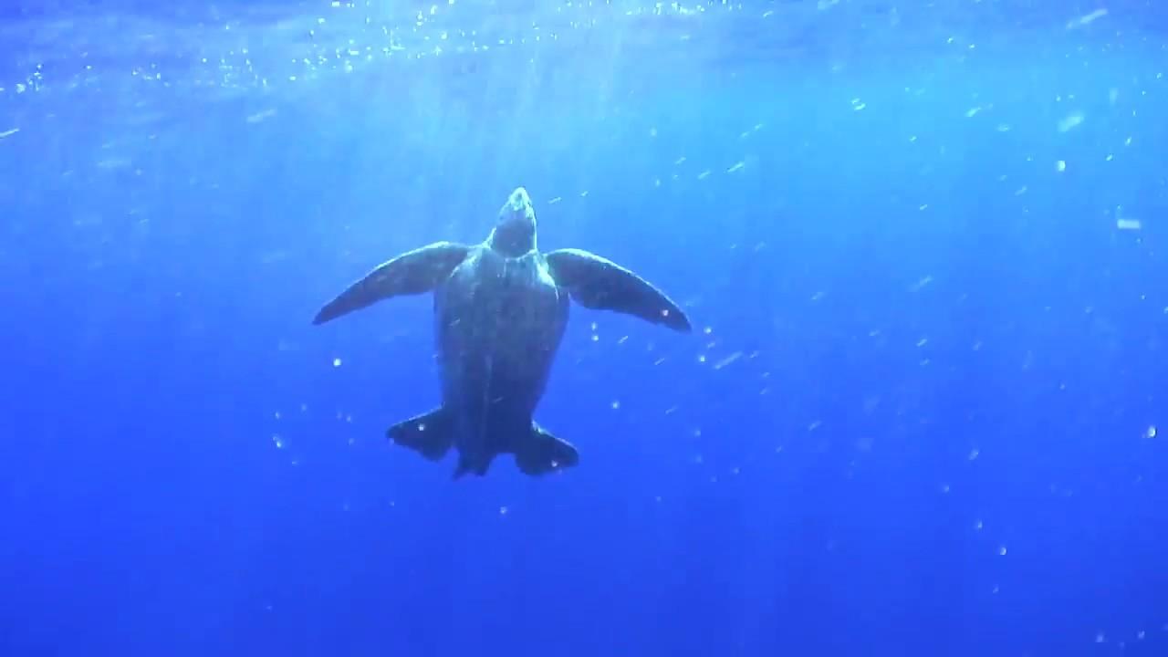 Кожистые морские черепахи находятся на грани исчезновения