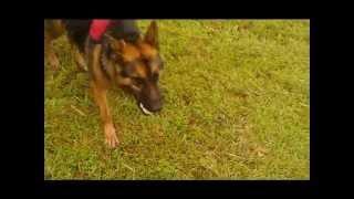Nala German Shepherd