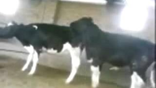 Sex of cow (2)