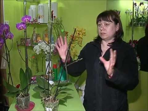 Как ухаживать за орхидеей - фаленопсис уход в домашних