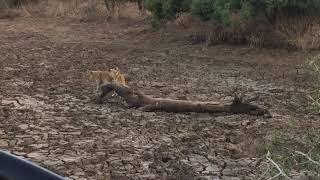 Lion cubs up to no good 🦁