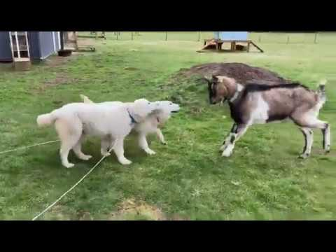 Interrupting Chase Behavior - Old Style Training and New