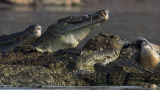 Crocodiles Feast on Dead Hippo - The Great Rift: Africa's Wild Heart - BBC