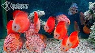 Дискусы Super red melon и Red Map Discus(Крупные дискусы, прошедшие карантин в АкваИнтерио. Кроме показанных на этом ролике, можно купить и других..., 2014-10-22T22:07:58.000Z)