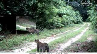 miroir en forêt (2) : un jeune femelle panthère joue avec son image au Gabon. Leopards VS mirror