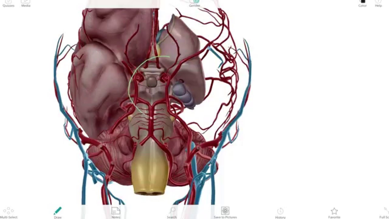 Neuroanatomia 3D #1 - Polígono de Willis (MedUp) - YouTube