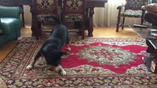 Собака танцует Лезгинку / Dancing Dog