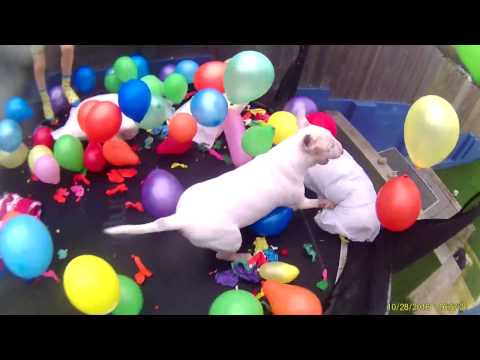 Dog On Trampoline covered in balloons English Bull Terrier !!!