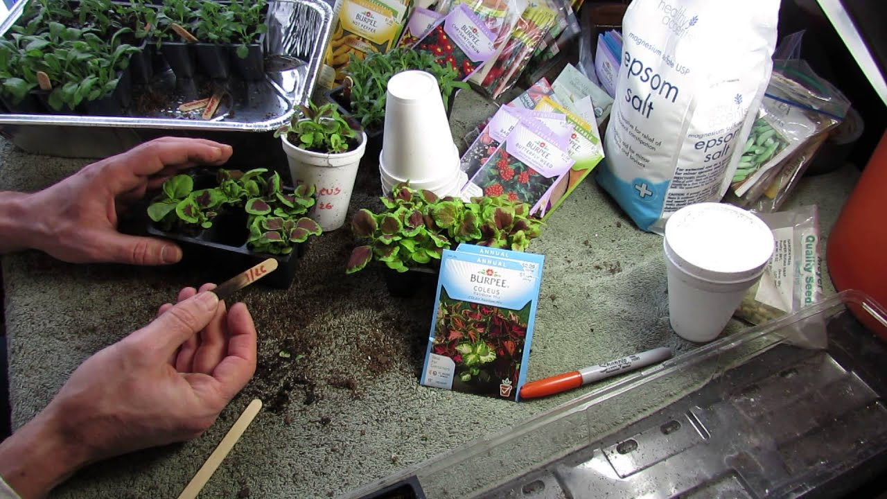Garden Flowers Seed Starting And Transplanting Coleus A Great Annual Mfg 2014 Youtube