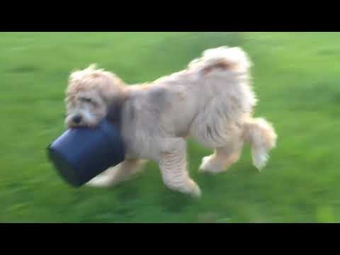 Tibetan terrier destroying a flower pot