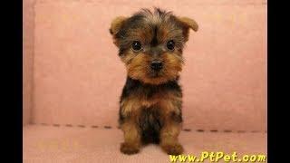 02/14 約克夏 Yorkshire Terrier -母幼犬2號-日新犬舍