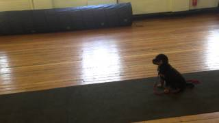 Zen, 10 Weeks Old Practicing Her Recall - Abbey Dog Training