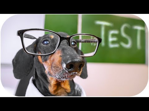 Final examination! Funny dachshund dog video!