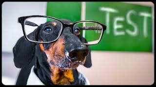 Final examination! Funny dachshund dog video!