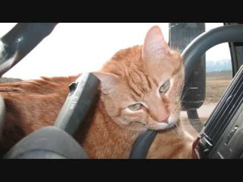 Toonces The Driving Catwmv Youtube
