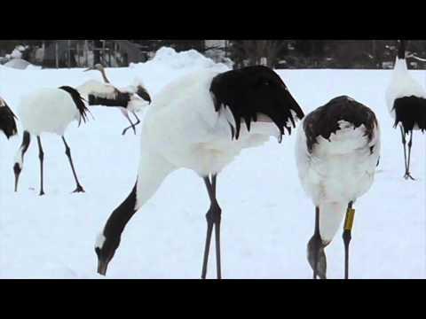 Hokkaido, Japan: The Astonishing Red Crowned Crane Sanctuary