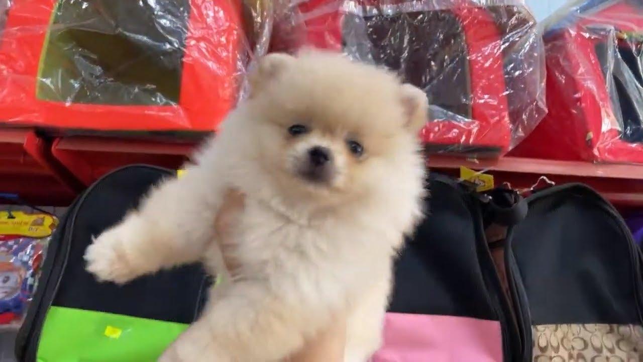 LiveStream Giới thiệu các loại thú cưng mới tại @LoHa Pet Shop