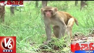monkeys declared as vermin in himachal pradesh to allow culling   teenmaar news