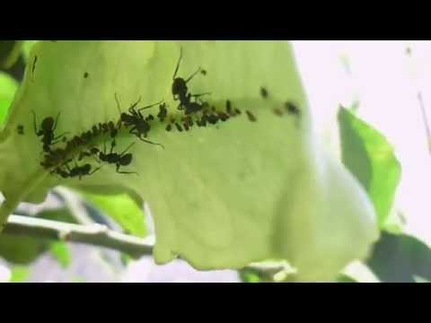 المن, أو قملة النبات ,هو نوع من الحشرات التي تتغذى على عصارة النباتات،