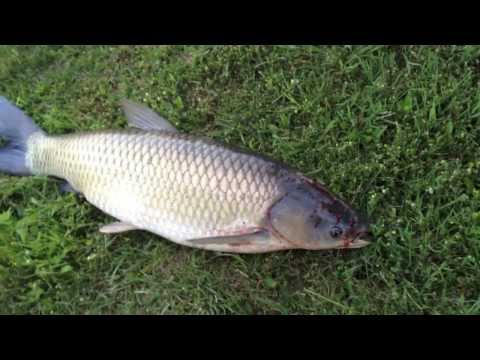 Grass Carp, An Asian Invader