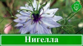 видео Гомфрена - посадка и уход в открытом грунте, фото цветов в саду, виды и сорта