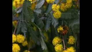 Cootamundra Wattle - John Williamson YouTube Videos