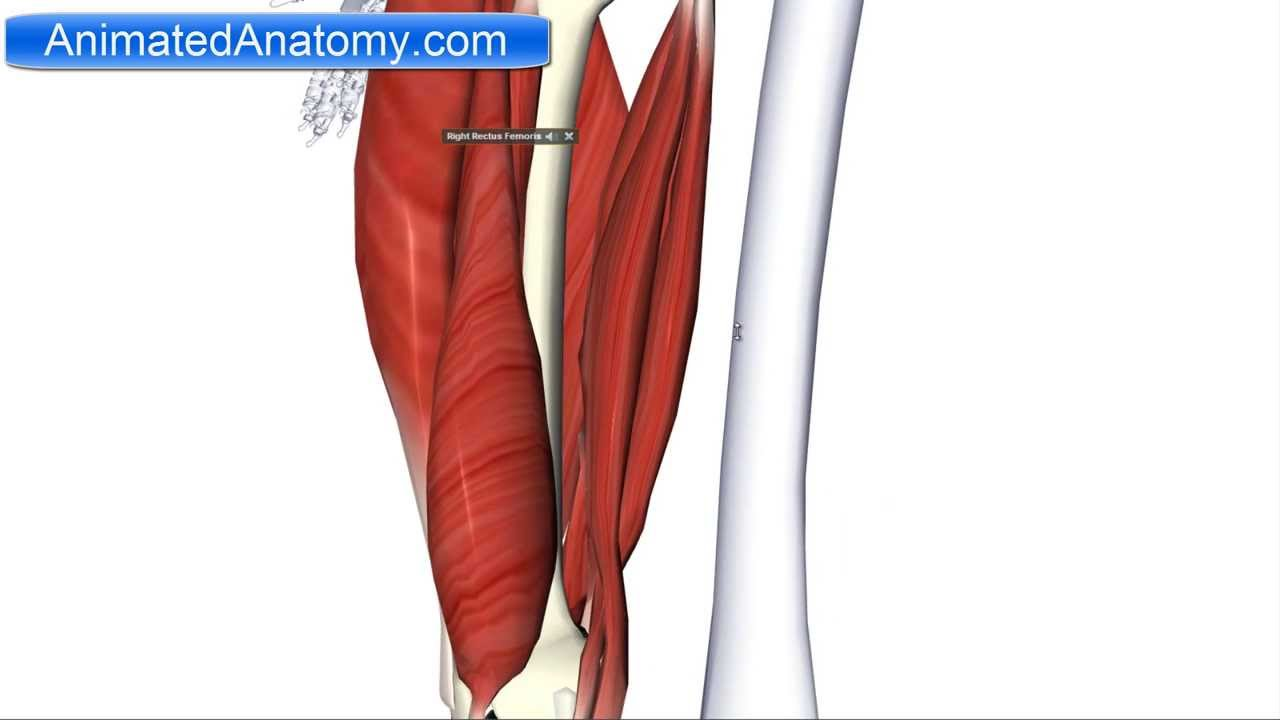 Muscles Of The Thigh Part 2 Posterior Compartmenthamstring