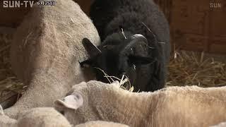 羊毛は最高峰 六甲山牧場で珍しい黒ヒツジ誕生
