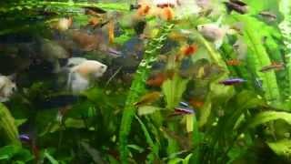 Аманды, черные неоны, кардиналы, тернеция черная, аквариумные рыбки