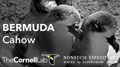 Live Endangered Bermuda Cahows | Nonsuch Expeditions | Cornell Lab