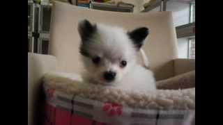 大阪府門真市のペットショップ 仔犬のお店プリティードックにて販売中の...