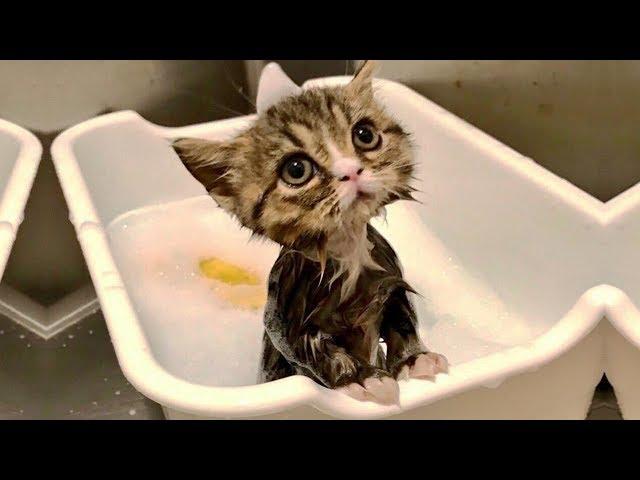 「かわいい猫」 笑わないようにしようしてくとださい - 最も面白い猫の映画 330