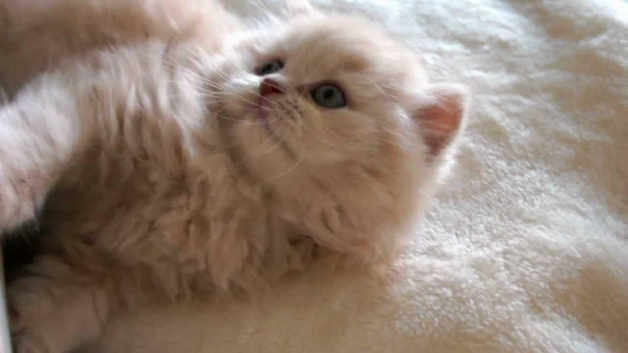 OHIO - British Longhair kittens, Koty brytyjskie-rasowe