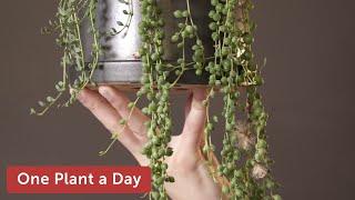 Скачать Curio Rowleyanus String Of Pearls Houseplant Care 235 Of 365