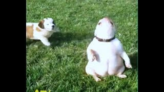 Lambada and Medley (Funny dogs and cats) - Try not to laugh animals - LK Lambada - Funny pets video
