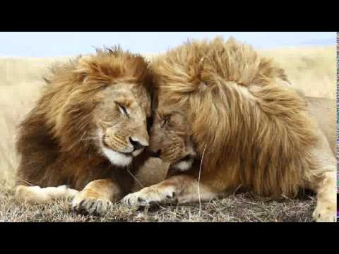 Lions Pictures Compilation| Picture Of Lions Best