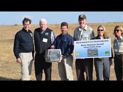 USFWS Rocky Mountain Arsenal NWR Black Footed Ferret Reintroduction Oct. 2015