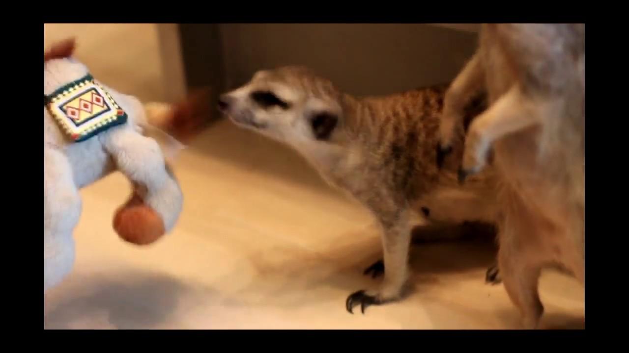 Смотреть 10экзотических животных, которых можно держать дома видео