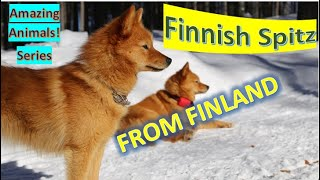 Finnish Spitz | Amazing Animals | Pet Dogs