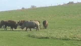 Rhino vs Buffalo